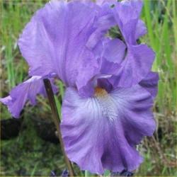 Tyland Blue