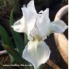 Lilli-White